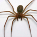 Un hombre perdió la vida tras ocho días de estar internado en un hospital debido a una picadura de araña violinista