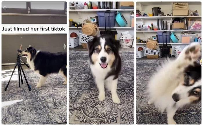 Secret es uno de los perritos más famosos e inteligentes de la red social, donde suma más de 1.6 millones de seguidores.