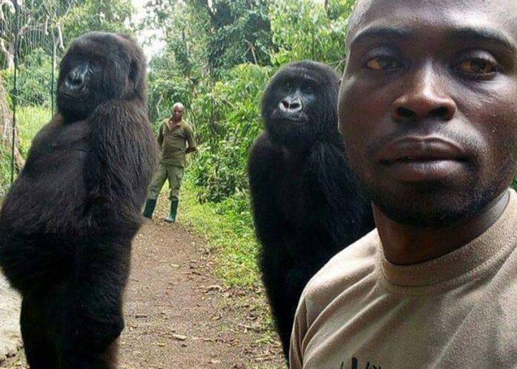 Muere la gorila huérfana que conquistó la red al posar para un selfi imitando una pose muy humana