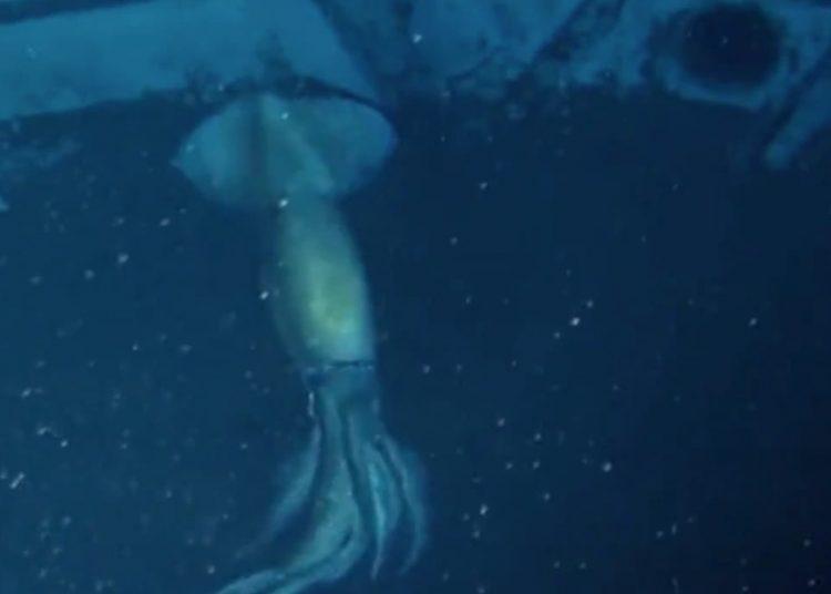 Captan calamar gigante en las profundidades del Mar Rojo