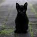 Suspenden adopción de gatos en Chihuahua por rituales
