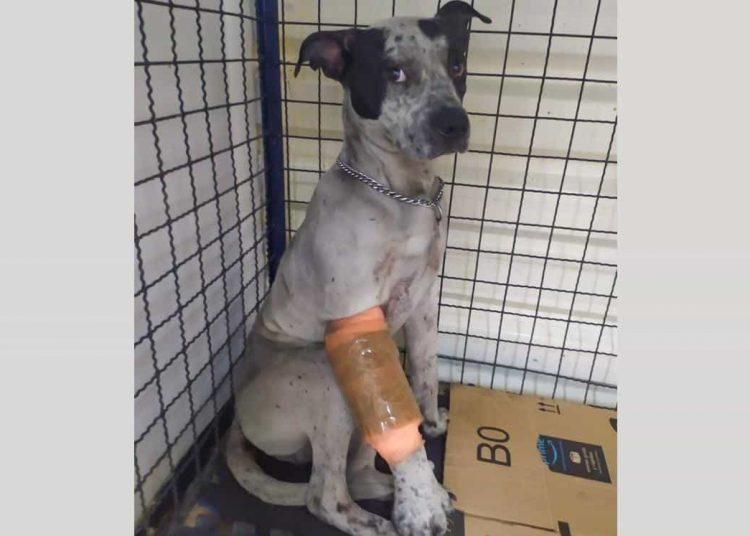 El perrito fue rescatado hace dos semanas de las vías de la estación Cuauhtémoc de Línea 1 del Metro; tiene la patita derecha fracturada.